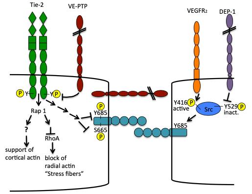 Picture showing a schematic description.